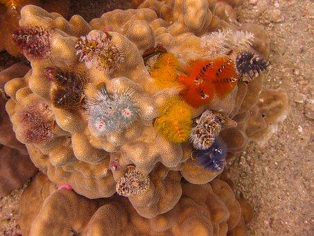 Christmas Tree Worms, Coral, Underwater, Diving, Ocean