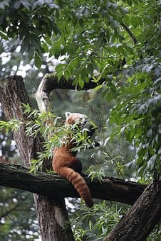 Little Panda, Panda, Ailurus Fulgens, Red Panda