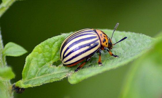 Beetle, Potato Beetle, Insect, Pest, Beautiful, Probe