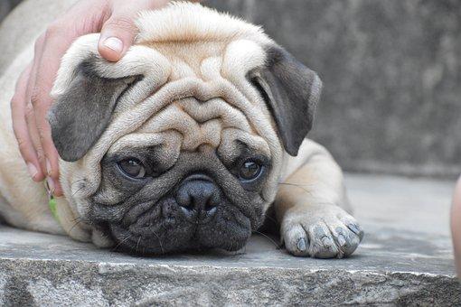 Pug, Doggy, Innocence