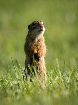 Gopher General, Spermophilus Citellus, Rodent, Small