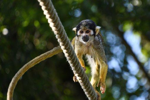 Monkey, Saimiri In Peru, Zoo, Rope
