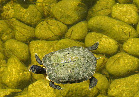 Turtle, Animal, Slowly, Nature, Green, Water Turtle