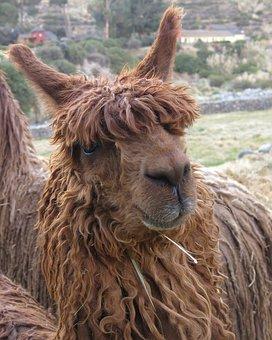 Andes, Suri, Llama, Colcatal