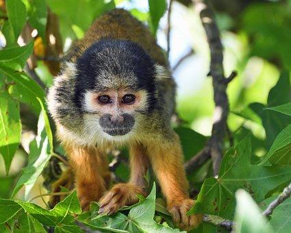 Monkey, Saimiri In Peru, Tree