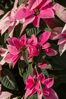 Poinsettia, Leaves, Flowers, Pink, White, Variegated