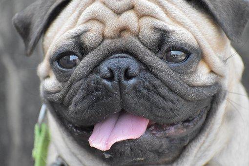 Pug, Round Eyes, Wrinkles, Tongue