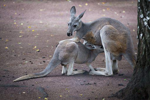 Kangaroo, Animal, Mammal, Young Animal, Young, Baby