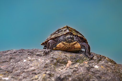 Turtle, Nature, Water Turtle, Animal, Pond, Panzer