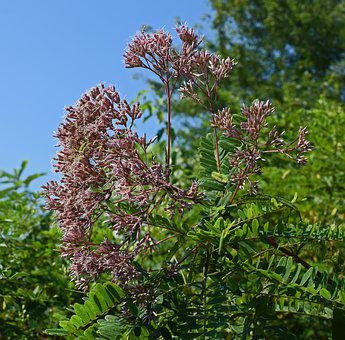 Joe-pye Weed, Flower, Blossom, Bloom, Plant, Nature