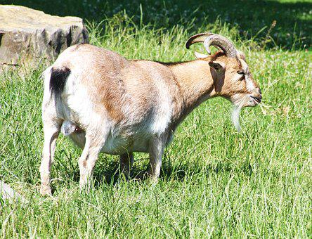 Goat, Horns, Animal, Farm, Zoo, Billy Goat, Brown