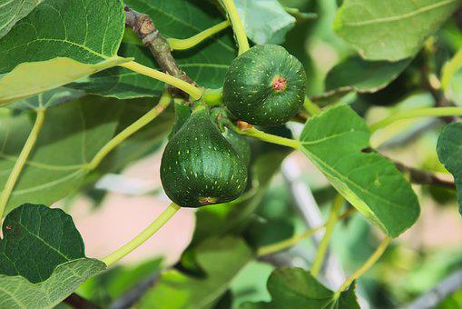 Figs, Fruits, Tree, Immature, Edible, Healthy, Close
