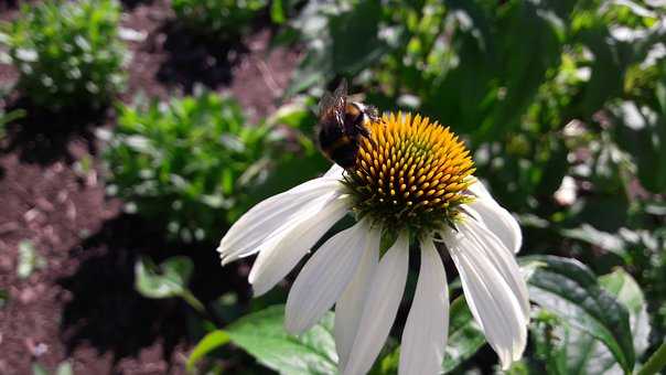 Flower, White Flower, Bumblebee, Bumble Bees, Pistils