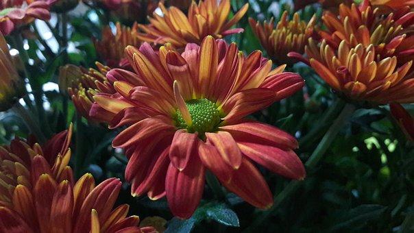 Höstaster, Aster, Flower, Flowers, Orange