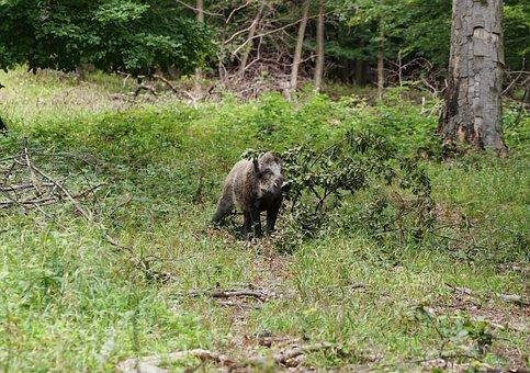 Forest, Boar, Wild Boar, Nature, Wild, Bristles, Zoo