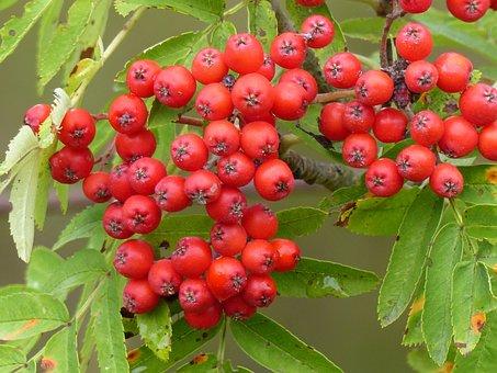 Rowan Berries, Orange, Summer, Garden, Tree, Green