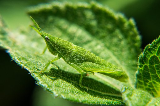 Nymphs, Grasshopper, Nature, Insects, Macro