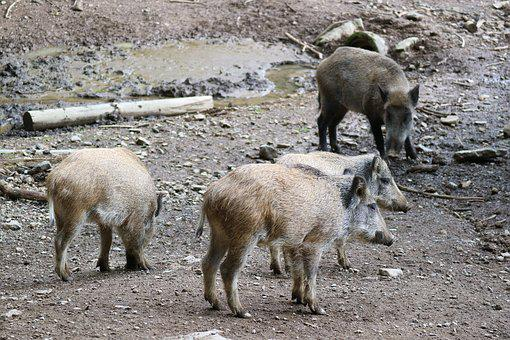Boar, Piglet, Launchy, Wildlife Photography, Sow