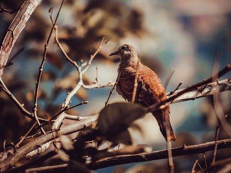 Ruddy Ground Dove, Bird, Nature, Freedom, Wing, Pity