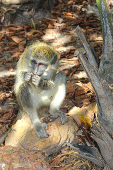 Monkey, Wildlife, Cute, Animal, Jungle, Primate, Ape