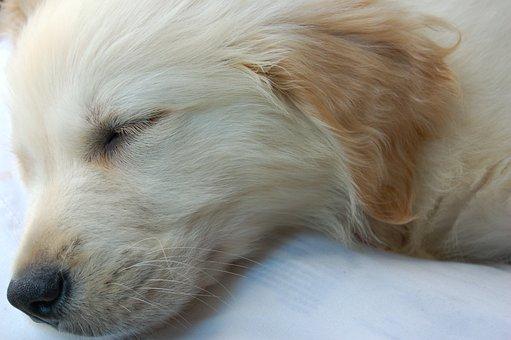 Cute Puppy, Dog Sleeping, Puppy