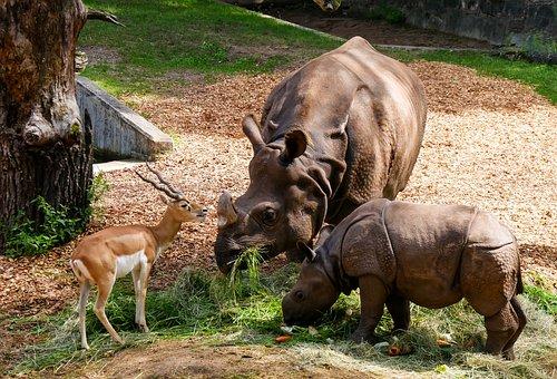 Animals, Rhino, Rhino Baby, Antelope, Horns, Feeding