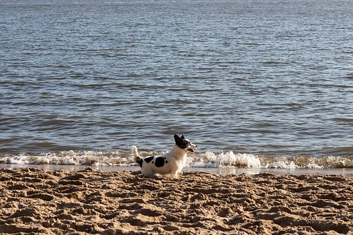 Dog, Beach, Welsh Corgi, Doggy, Small Dog, Holiday, Pet