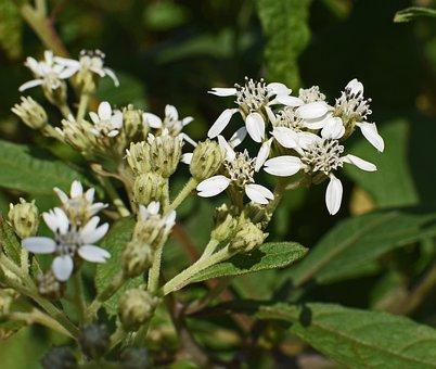 Tall Boneset, Flower, Wildflower, Blossom, Bloom, Plant