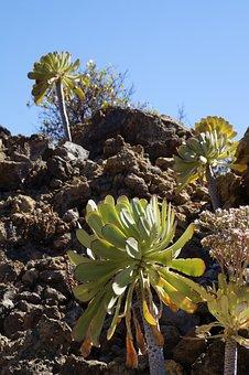 Aeonium, Canary Islands, Thick Sheet Greenhouse, Flora