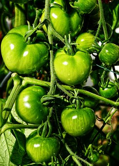 Tomato, Panicle, Fried Green Tomatoes, Greenhouse