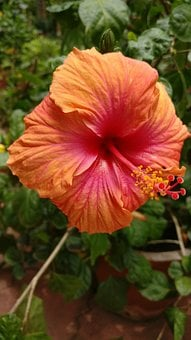 Hibiscus, Orange, Colorful, Flower, Tropical, Nature