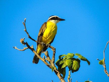 Bird, Cambacica, Yellow, Tropical Bird, Animals, Birdie