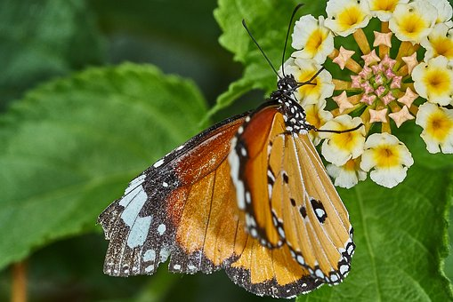 Butterfly, Nature, Insect, Animal, Close Up, Flower