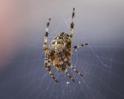 Spider, Common, Arachnid, Hairy, Phobia, Web, Outdoors