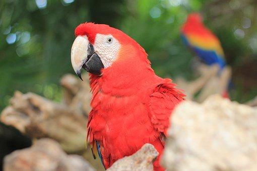 Macaw, Red, Ave, Animal, Nature, Bird, Exotic Bird
