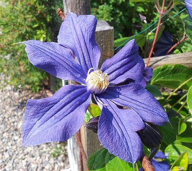 Clematis, Blue, Blue Clematis, Beautiful Clematis