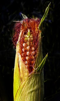 Corn, Corn On The Cob, Agriculture, Crop, Fodder Plant