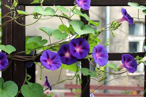 Bindweed, Creeper, Purple Flower, Blooming, Foliage