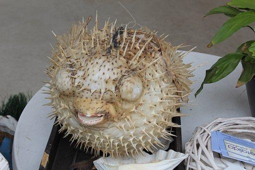 Fish Hedgehog, Sea fish, Dummy