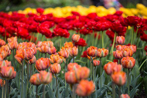 Flowers, Tulips, Festival, St Petersburg, Russia