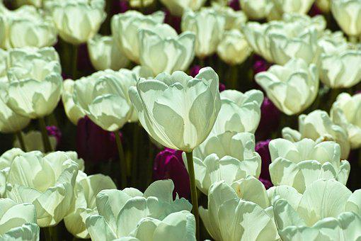 White, Tulips, Flower, Environmental, Plant, Flowers