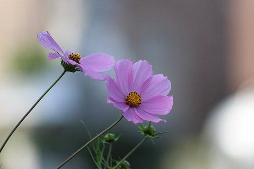 Cosmos, Purple, Flowers, Flower, Plant, Garden, Spring