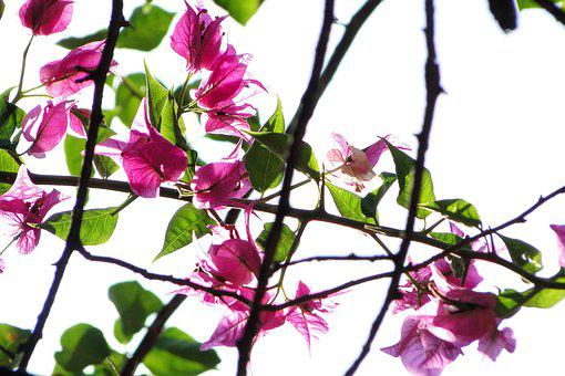 Plant, Bougainvillea, Flowering, Flower