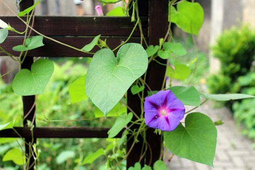 Bindweed, Creeper, Flowers, Blooming, Purple Flower