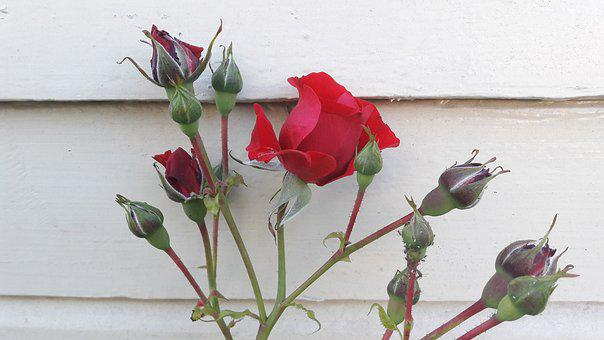Red Rose, Ros, Red, Flowers, Roses, Flower, Red Flower