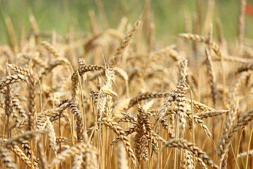 Wheat, Field, Nature, Seeds, Sun, Food, Beautiful