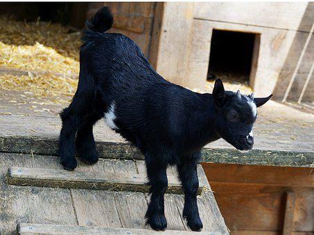 Kid, Young Goat, Goat, Fur, Animal, Animal World