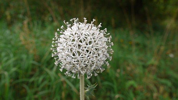 Globe Thistle, Beauty, Pallor, Thistle Flourished