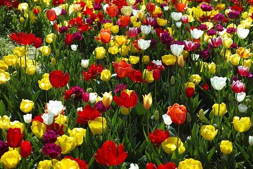 Red, Yellow, Green, Orange, Tulips, Flower