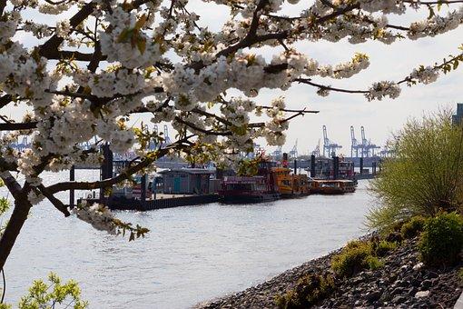 Cherry Blossom, Elbe, Hamburg, Port, Ship, Water